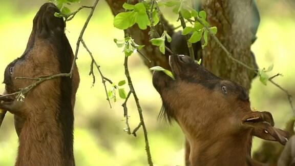 Zwei Ziegen fressen Blätter von einem Baum.