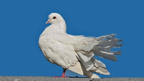 Eine weiße Taube sitzt vor blauen Himmel auf einer Mauer