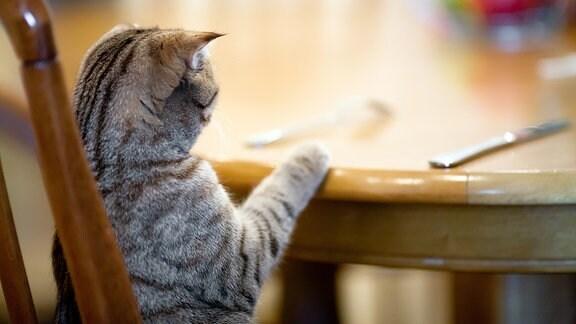 Katze wartet an einem Tisch auf Futter