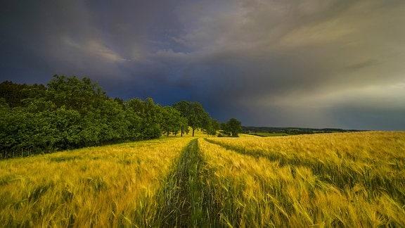 Aufziehendes Gewitter über einem Gerstenfeld