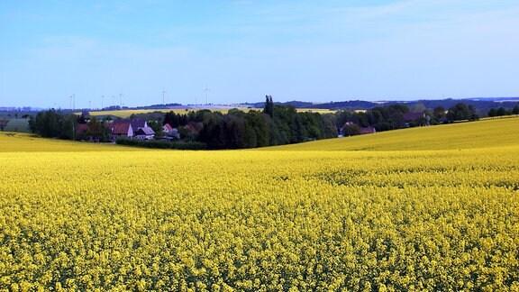 Ein Feld mit vielen gelben Rapspflanzen