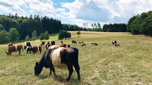 Belted Galloway-Rinder auf einer Weide in Deubach