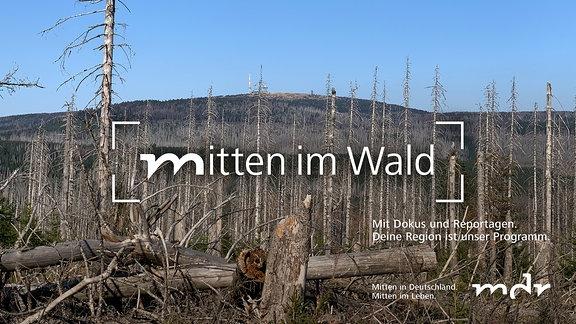 abgestorbene Bäume (im Harz), im Hintergrund der Brocken