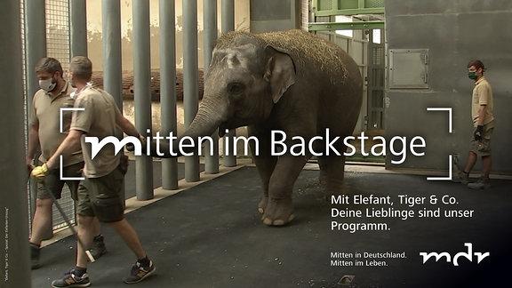 Mann führt Elefant durch Elefantenhaus an dicken Gitterstäben vorbei Berliner Elefantin kommt im Leipziger Zoo an.