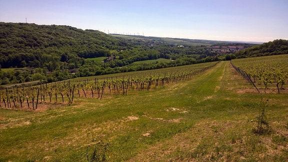 Weinberge des Weingutes Sonnenhof im Ilmtal bei Bad Sulza