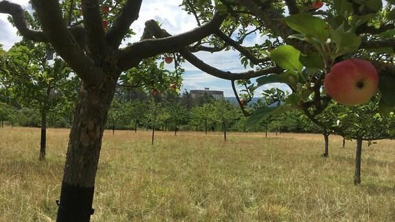 Auf dem warmen Gipskarstböden am Schlachtberg bei Bad Frankenhausen wachsen über 800 alte Obstsorten. Die Sammlung gehört zu den bedeutendsten in Mitteldeutschland und zur Genbank Obst.