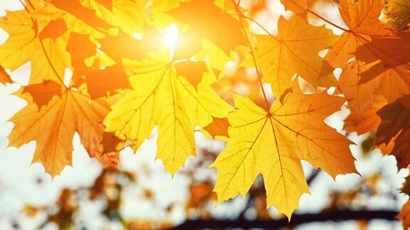 Sonnenlicht scheint durch Herbstlaub