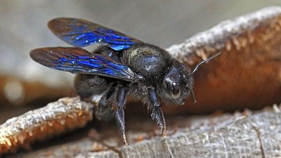 Eine Blaue Holzbiene (Xylocopa violacea)