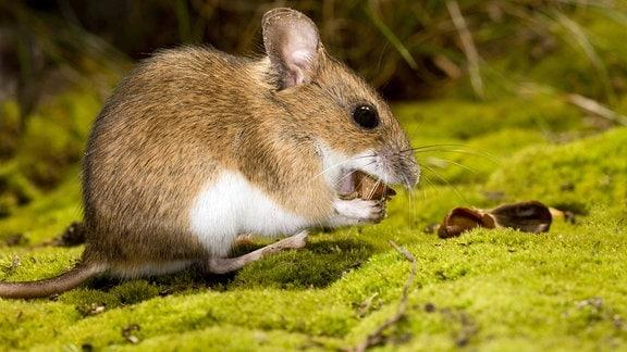 Gelbhalsmaus, auf dem Waldboden sitzend und eine Buchecker fressend.