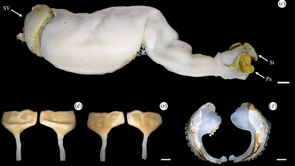 Steinbohrwurm und Fraßlöcher
