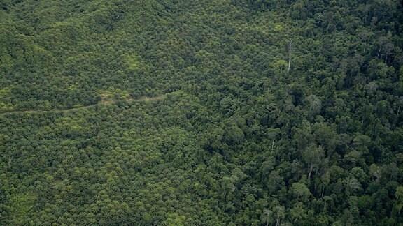 Luftaufnahme, direkt von obene. Plantage aus Ölpalmen mit vielen gleichen Palmen direkt neben Regenwald mit unterschiedlichem Baumbestand.