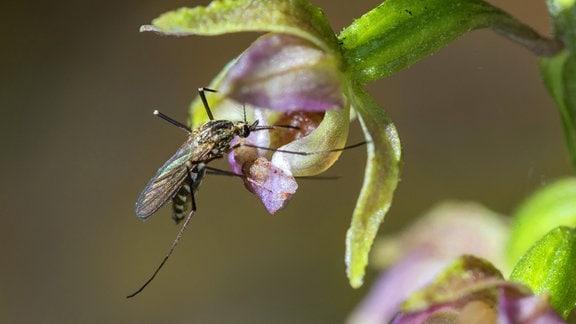 Auwaldmücke, Aedes vexans, sitzt auf einer Blüte des Breitblättrigen Sumpfwurzes (Epipactis helleborine).