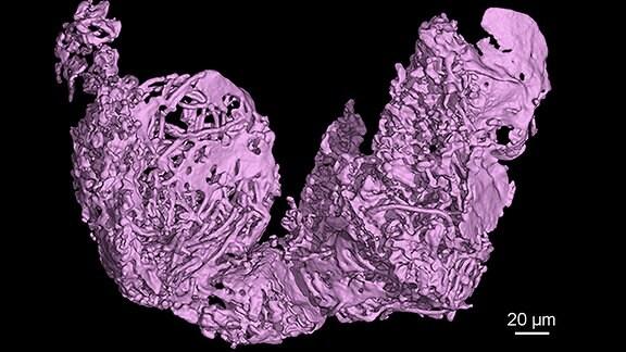 Rekonstruktion der beiden Speicherorgane für Spermien aus einem Weibchen der kreidezeitlichen Myanmarcypris hui. Die darin gespeicherten zahlreichen fadenförmigen Riesenspermien lassen vermuten, dass das Tier begattet wurde, kurz bevor es vom Baumharz verschluckt wurde.