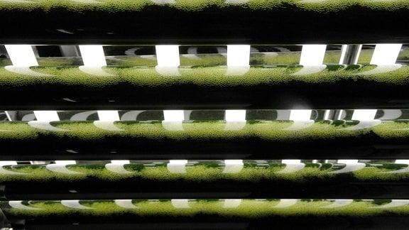 Glasröhren mit Algen im Institut für Getreideverarbeitung in Nuthetal/Bergholz-Rehbrücke in Brandenburg