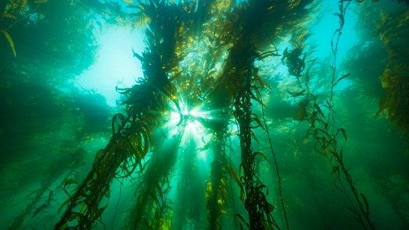 Aufnahme aus dem Meer - Algen schweben  im Wasser