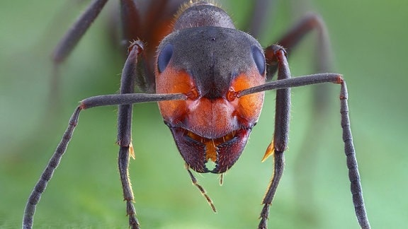 Ein Ameisenkopf, makrofotografiert