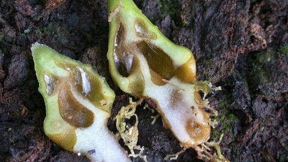 Längsschnitt durch eine Ameisenpflanze