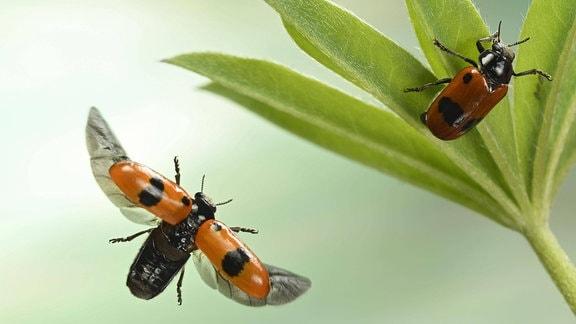 Ameisensackkäfer (Clytra laeviuscula), im Flug an einem Lupinenblatt