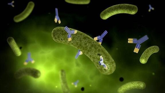 Grafik: Antikörper attackieren und zesrtören Bakterien