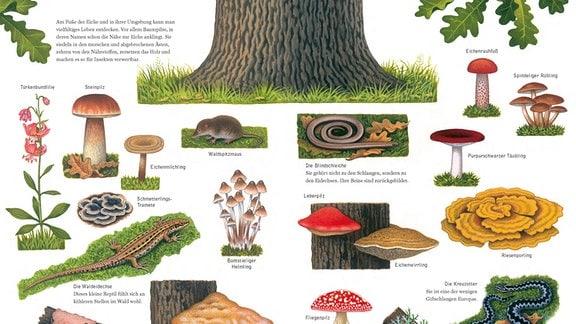 Seitenansicht aus dem Buch: Die wunderbare Welt der Eiche - das Bild zeigt eine Lilie sowie Tiere und Pilze, die am Fuss einer Eiche zu finden sind.