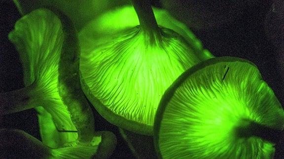 """Biolumineszente """"Gespensterpilze"""" - im Dunkel grün leuchtende Pilze"""