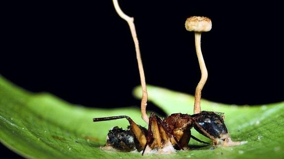 Das Bild zeigt ein unscharfes großes grünes Blütenblatt, auf dem eine halbtote Ameise mit einer honigartigen Masse festzukleben scheint. Im Hintergrund zwei Stempel der Blume.