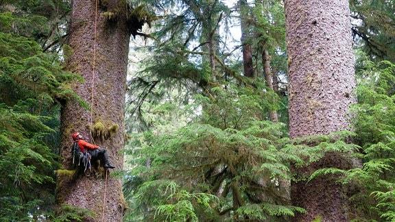 Ein Mann mit roter Jacke hängt an einem Seil an einem rieisigen Baumstamm in einem dichten Wald.