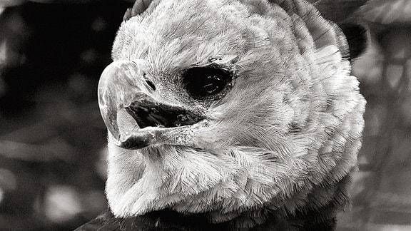 Vogel mit farblich changierendem Federkleid (in S-W als Verlauf von Weiß bis Dunkelgrau zu sehen), dessen Kopf mit nach vorn gerichteten Augen und einem scharfen spitzen Schnabel sich aus der Betrachtersicht stark nach links dreht.