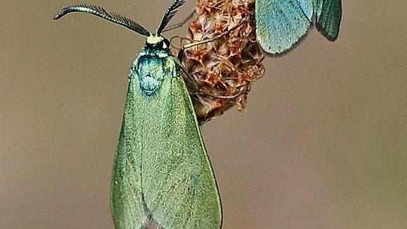 Zwei Falter mit eingezogenen blaugrünen Flügeln halten sich an einer Blume fest. Die Farben der Flügel changieren; die oberen sehen eher blau, die unteren eher grün aus.
