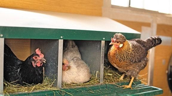 S. 78 aus 'Warum Hühner scharren'