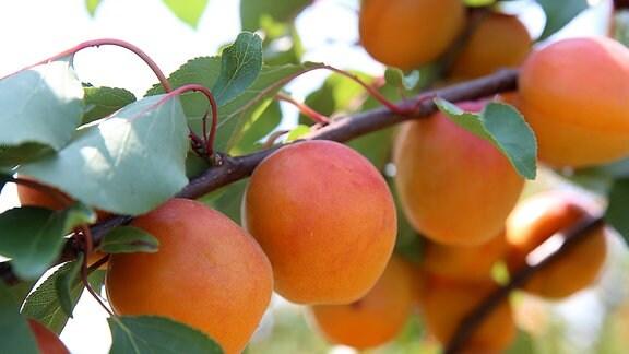 Reife Aprikosen hängen am Baum.