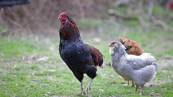 Araucanas Hühner