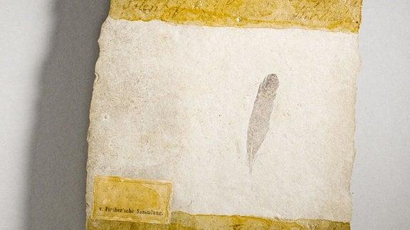 Ein Abdruck einer Feder eines Urvogels.