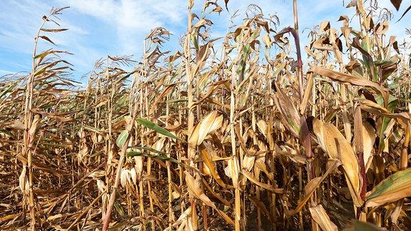Maisfeld, das von der Dürre ausgetrocknet wurde.