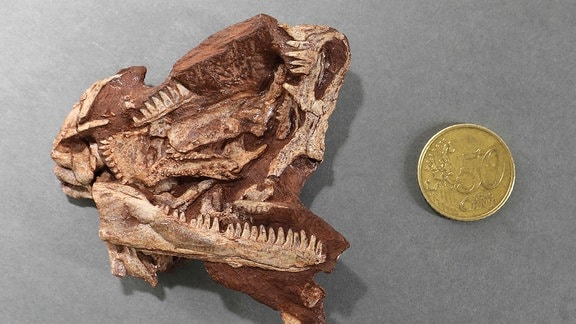 Verdrückter Schädel des erwachsenen Typus-Exemplars von Martensius. Rechts oben ist die Schnauzenspitze mit einer Nasenöffnung zu erkennen. Am unteren Rand liegt ein kompletter Unterkieferast frei. Die Knochenteile des Gaumendaches dazwischen tragen ebenfalls teilweise Zähne.