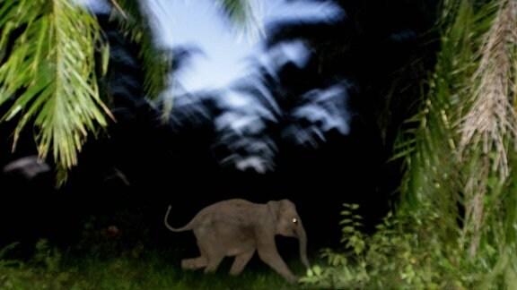 Baby-Elefant futtert sich durch Palmöl-Plantage