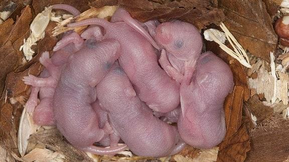 Ein Wurf neugeborener Mäuse