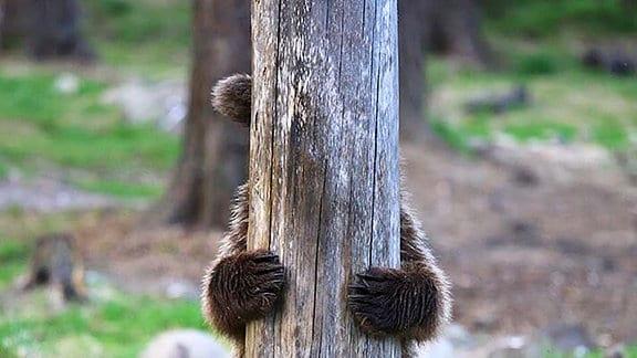 Bär hinter Baum