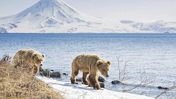 Braunbären vor einem Vulkan in Kamtschatka
