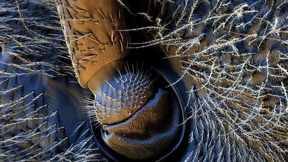 Sehr naher Blick auf eine behaarte Oberfläche. In deren Mitte ein Gelenk.