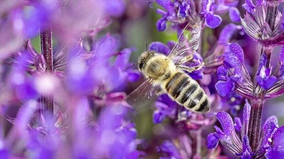 Eine Biene auf einer Salbeiblüte