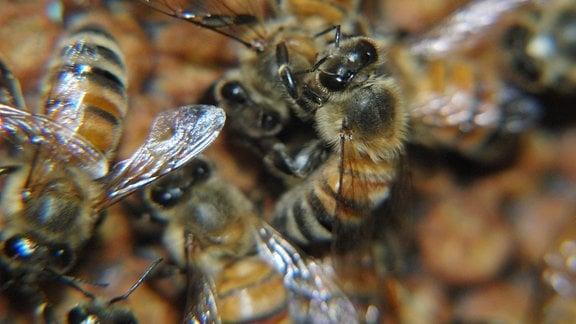 Eine Honigbiene, die eine Nestgefährtin pflegt.
