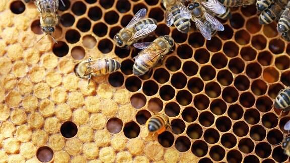 Nahaufnahme einer Bienenwabe mit Bienen