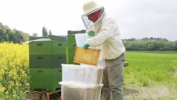 Imker sammelt Honigwaben ein.
