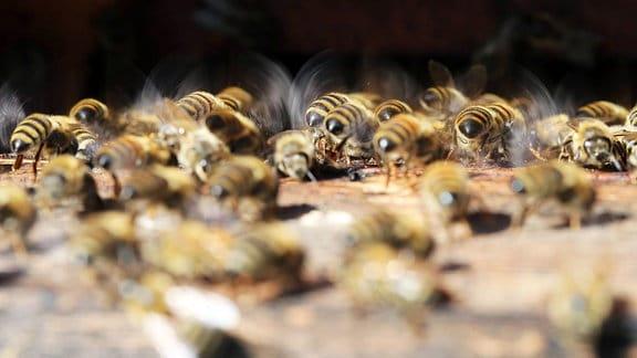 Bienen wedeln mit ihren Fluegeln frische Luft in den Bienenstock.