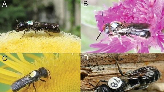 Bienenforschung: Wie weit fliegen Wildbienen zur Futtersuche