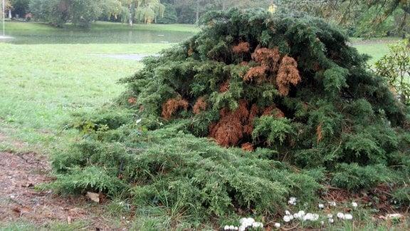 Lebensbaum mit Pilzen.