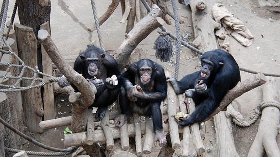 Gruppenbild Schimpansen