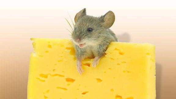 Maus mit Käse