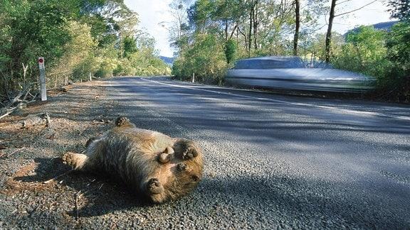 Nacktnasenwombat, Nacktnasen-Wombat (Vombatus ursinus), liegt auf dem Ruecken tot am Strassenrand, Australien